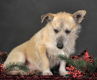 杂种狗在演播室 库存照片