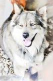 杂种狗,西伯利亚爱斯基摩人 免版税库存照片
