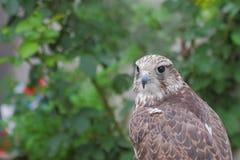 杂种猎鹰(Gyrfalcon + Peregrin)。 库存照片