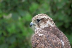 杂种猎鹰(Gyrfalcon + Peregrin)。 库存图片