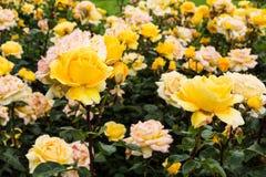 杂种玫瑰色茶 库存照片