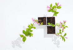 杂种锦带花 库存图片