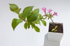 杂种锦带花 免版税图库摄影