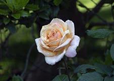 杂种香水月季,达拉斯树木园 免版税库存照片