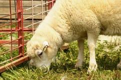 杂种头发绵羊 库存图片