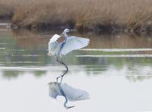 杂种Tricoloured苍鹭x白鹭 库存图片