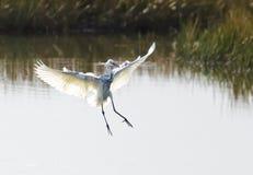 杂种Tricoloured苍鹭x白鹭01 免版税库存照片