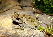 杂色东部灰色雨蛙的treefrog 免版税库存图片