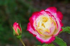 杂色在红色桃红色白色奶油色颜色上升了开花在 库存图片
