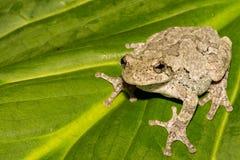 杂色灰色雨蛙的treefrog 免版税库存照片