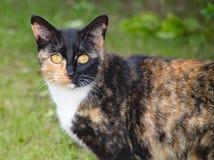 杂色猫并且凝视坐一个热的夏日 免版税库存照片