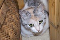杂色猫画象  免版税库存照片