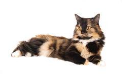 杂色猫 库存照片