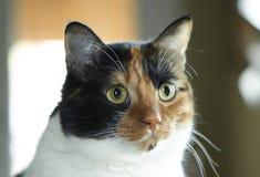 杂色猫 图库摄影