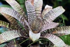 杂色的丝兰特写镜头,玫瑰华饰 热带decorativ植物叶子,叶子,自然样式宏观照片,异乎寻常 库存图片