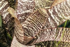 杂色的丝兰玫瑰华饰  热带decorativ植物叶子,宏观照片叶子,自然样式,异乎寻常植物 免版税库存图片