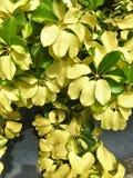 杂色的茉莉花 Jasminum officinale'Argenteovariegatum' 库存图片