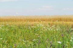 杂色的草和开花的野花在晴朗的夏日,生长沿黑麦领域路旁  开花植物  库存照片