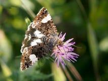 杂色的飞蛾Tyta luctuosa食用在一朵微小的紫罗兰色花的早餐 免版税库存图片