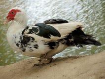 杂色的鸭子 免版税图库摄影