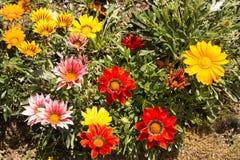 杂色菊属植物床 免版税库存图片