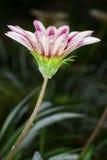 杂色菊属植物开花(杂色菊属植物ringens) 免版税库存照片