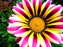 杂色菊属植物桃红色花宏指令照片 库存照片