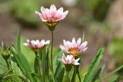 杂色菊属植物淡紫色 免版税库存照片