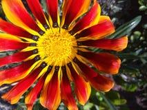杂色菊属植物花宏指令照片 免版税库存照片