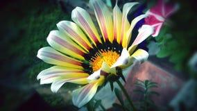 杂色菊属植物花的图片 库存图片