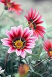 杂色菊属植物象雏菊样的开花植物 免版税库存图片
