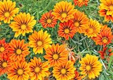杂色菊属植物 免版税库存照片
