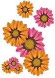 杂色菊属植物 库存例证