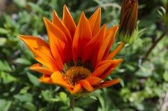 杂色菊属植物 库存图片