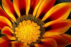 杂色菊属植物rigens 库存照片