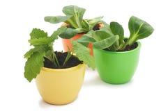 杂色陶瓷杯子的三棵植物。 免版税库存照片