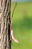 杂色calotes多变的蜥蜴的马来西亚人 免版税库存图片