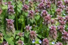 杂草和草紫色叶子  免版税库存图片