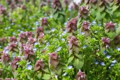 杂草和草紫色叶子  库存照片
