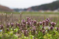 杂草和草紫色叶子  免版税库存照片