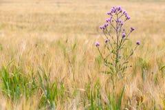 杂草在恶化的谷物丰收领域 免版税图库摄影