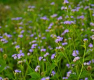 杂草开花紫色 库存图片