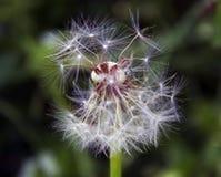 杂草种子 免版税图库摄影