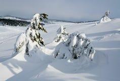 杉木下雪下 免版税库存照片