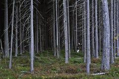 杉木丛林妇女 免版税库存图片