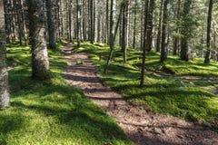 杉木之间的道路在森林里 库存图片