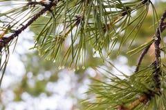 杉木分支与针和水下落特写镜头 图库摄影