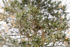 杉木分支与锥体的 与锥体的针叶树 棵子植物 免版税库存图片