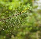 杉木分支关闭与在被弄脏的背景的雨珠 免版税库存照片
