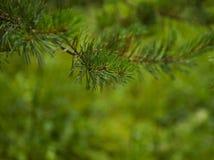 杉木分支关闭在被弄脏的背景的雨以后 免版税库存照片